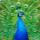 孔雀の画像