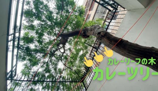 カレーツリーを初めて見たよ【カレーリーフの木】